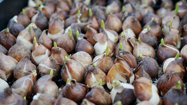 Bulbs with roots ready for production