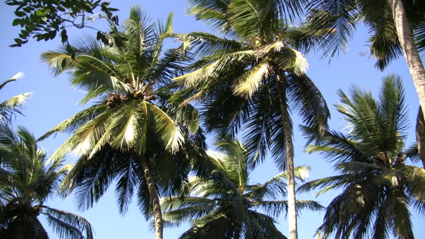 Climb a coconut tree and choose your own coconut