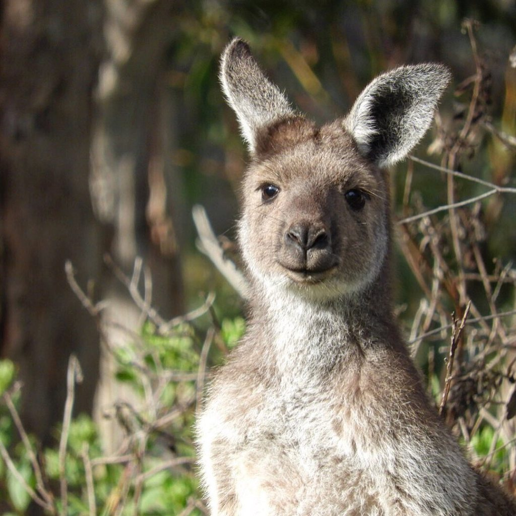 Kangaroos are native animals of Australia