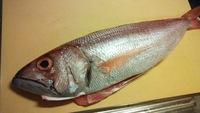 釣った魚を冷蔵庫で1週間保存してみました