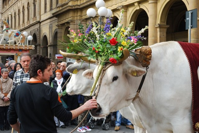 03 The white oxen with their floral garlands