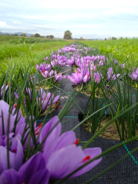 Saffron cultivations