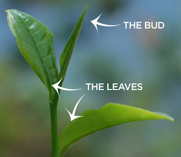 The two leaves and the bud of a tea plant.