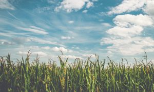 Corn Fields Under White Clouds With Blue Sky During Daytime 158827