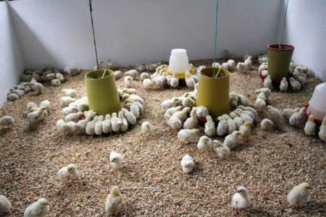 Baby chicks being raised by Walter and his family.