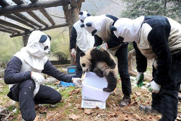 Panda Caretakers wearing Panda Kigurumi