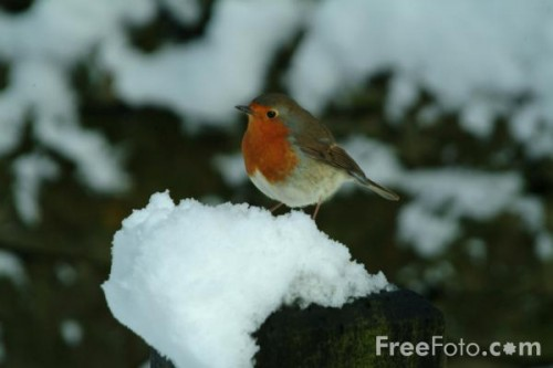 European robins are obligate partial migrants: genes determine which members of a population will migrate