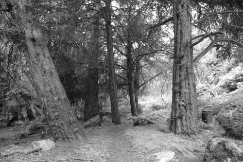 Rare pocket of thousand year-old, old growth Pacific Yew trees. Indian Creek, Frank - Church River of No Return Wilderness