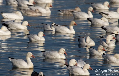 A Ross's goose sits amidst snow geese in Lake Champlain in 2013.