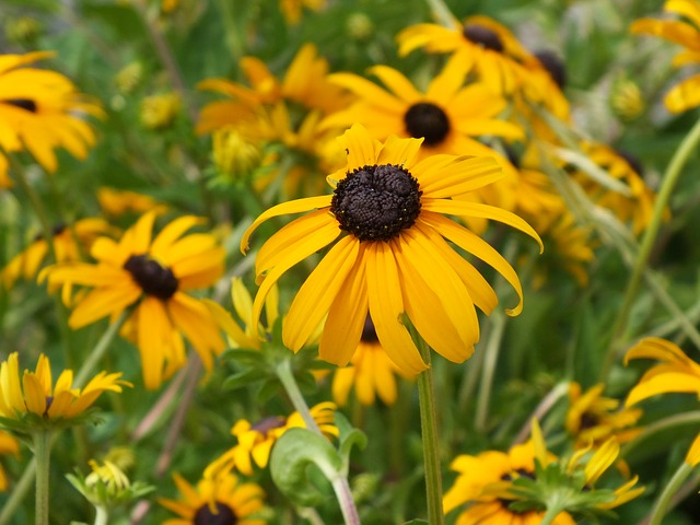 black-eyed-susan-334122_640