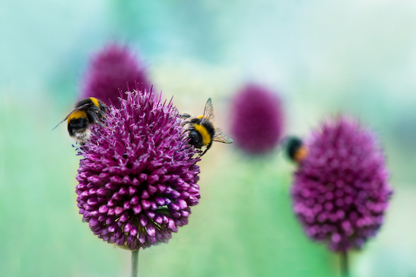 Bees - wildlife gardening