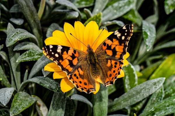 butterfly wildlife gardening