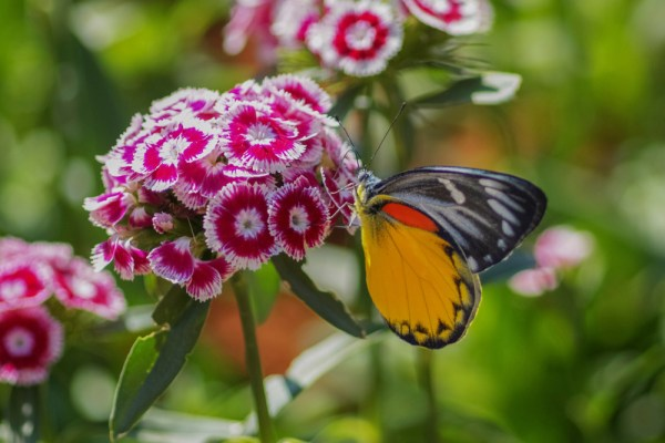 butterfly on sweet william