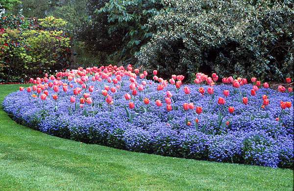 tulips in forget me nots