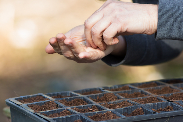 sowing into seed trays