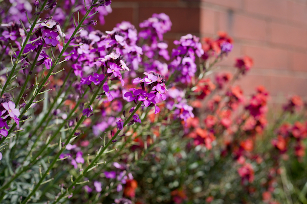 Wallflowers (Erysimum) in a North Yorkshire garden