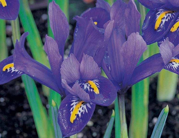Close-up of a purple iris blooming