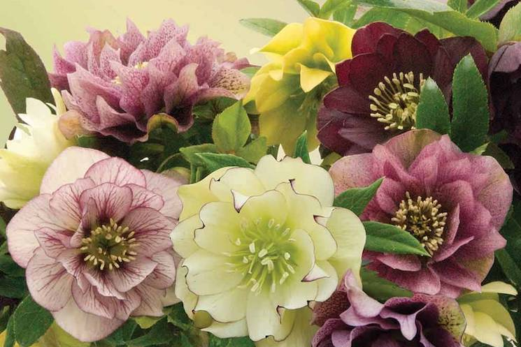 lovely pink purple yellow hellebore flowers