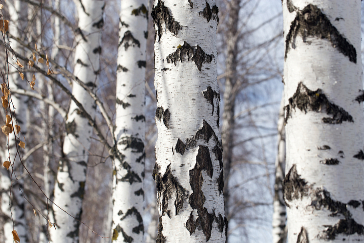 silver birch white tree trunks