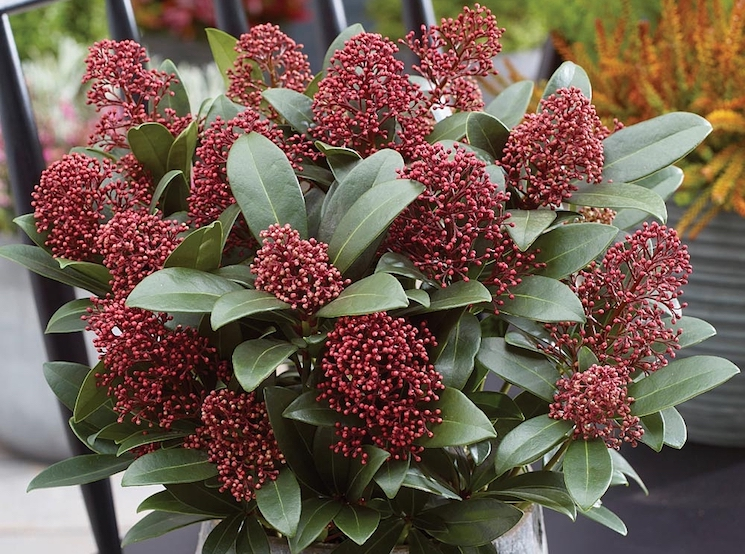 Red berries in a pot skimmia
