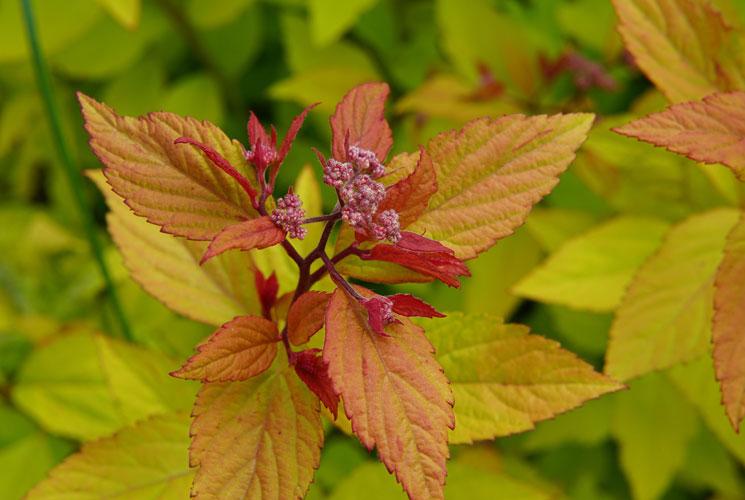 Spiraea autumn foliage