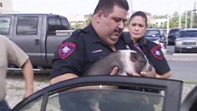 """Still photo from 9/13/10 ABC News story of a potbellied pig rescued from a hot car. Not surprisingly, the news story used the word """"sizzles"""", which is often used in conjunction with bacon."""