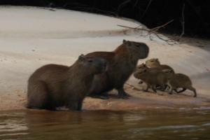 Capivaras no Pantanal Matogrossensse