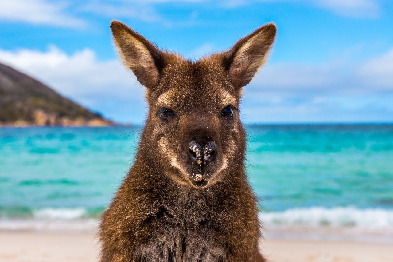 Canguru nas praias da austrália