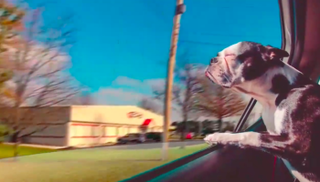 dog in car looking out of window