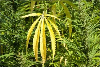 Wundermittel Cannabis: Hanf zerstört Krebs