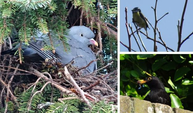 wood pigeon nesting in the conifer tree, a blue tit and a male blackbird gathering insects for his young