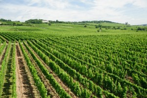 green vineyard
