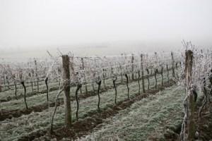 Frozen Vineyard