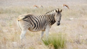 Close up of Zebra grazing dry meadow