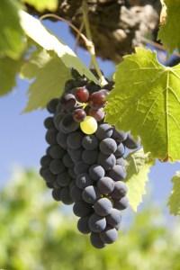 Grapevine in autumn