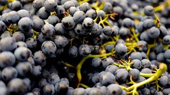 grapeharvest.jpg
