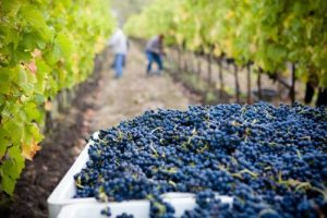 A Chat With a Grape Grower About the 2020 Harvest