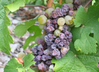 Grechetto muffa uva