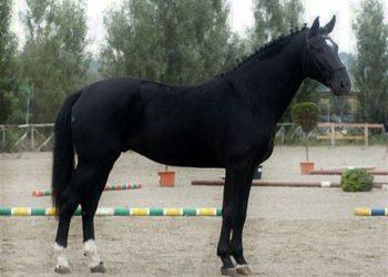 Morellino Scansano Morello Cavallo