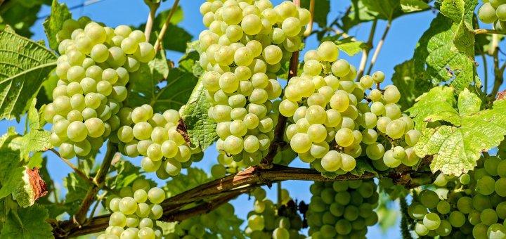 Déconfinement vigne