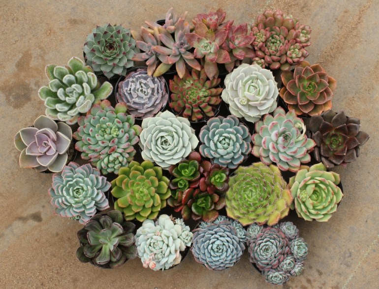 Colorful collection of succulents - via The Succulent Source
