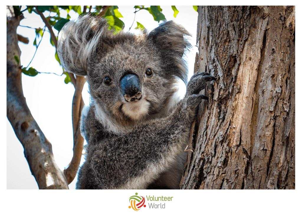Koala min 1024x727 [Q&A] Australian Bushfires |   How you can help in 2020