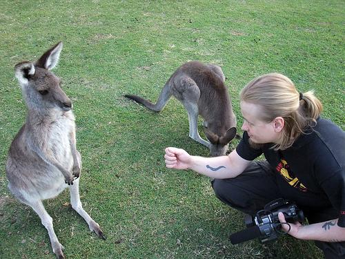 Suspicious kangaroo