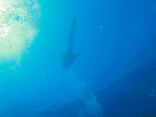 The first whale shark spotted. This picture in no way conveys the size and scale of that animal.