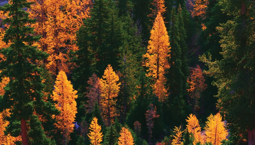 Gold larches