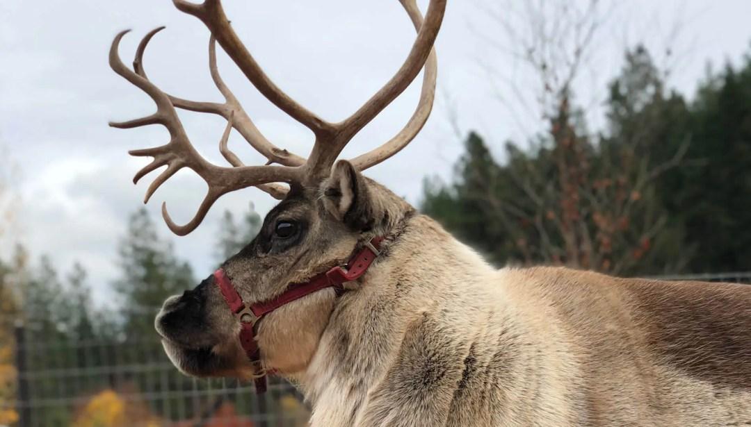 Reindeer at the Reindeer Farm