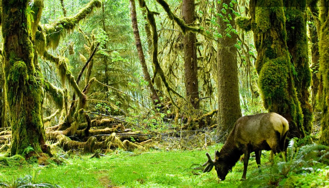 Elk at the Hoh Forest in the Olympic National Park