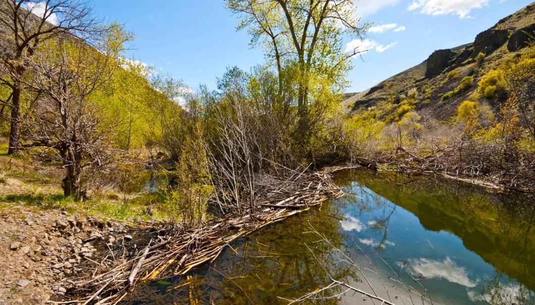Umtanum Creek Beaver Dam