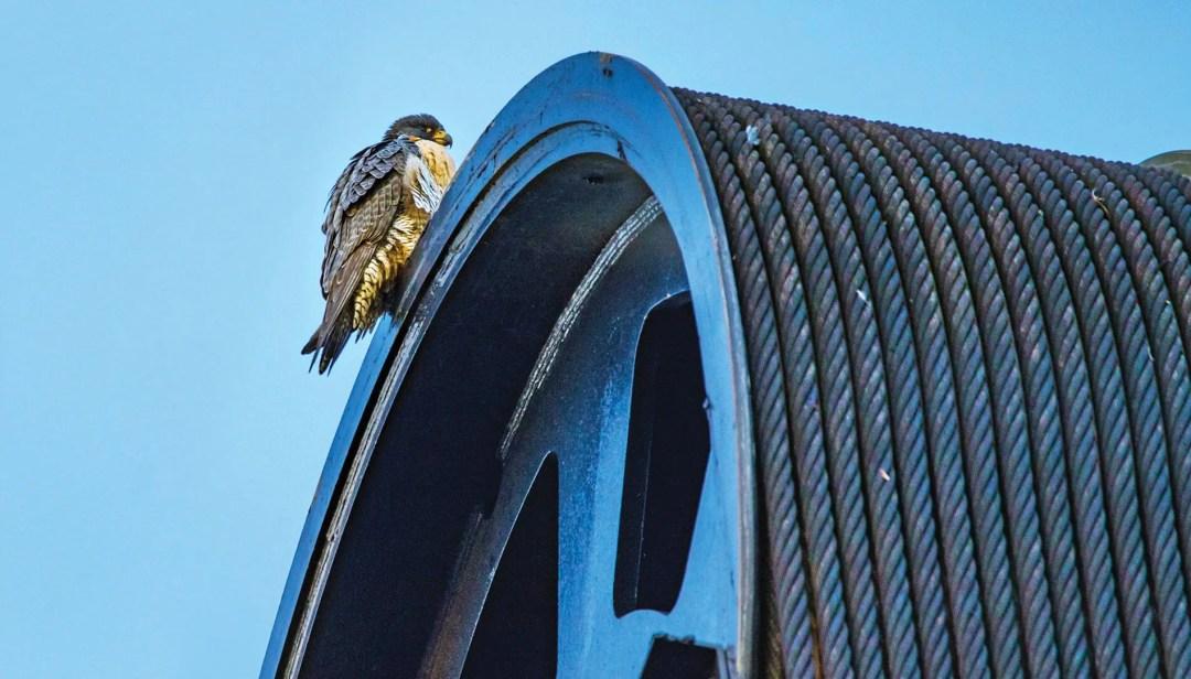 Peregrine falcon on a building