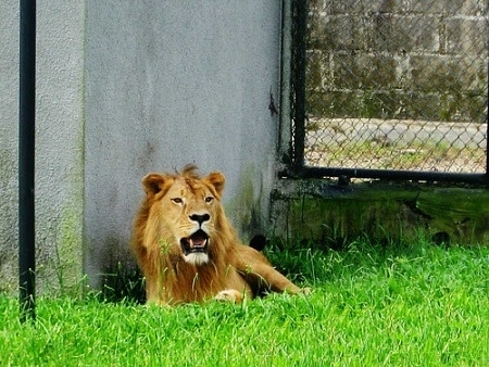 An image of a lion at Omu Resort Zoo